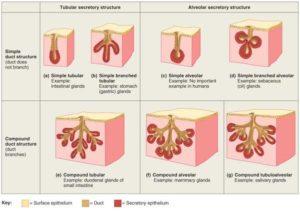 glands human body