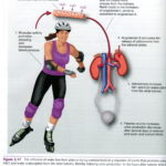 Study Effect Exercise Blood Pressure: