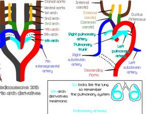 aortic arch derivatives mnemonics