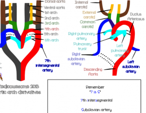 aortic arch derivatives mnemonics