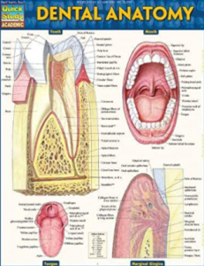 Dental Anatomy PDF